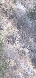 Muley buck sitting2.jpg