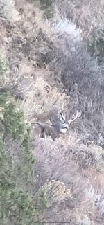 Muley buck sitting3.jpg