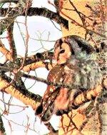 backyard_boreal_owl.jpg