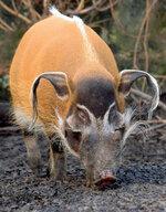 zoo_tycoon_profile__red_river_hog_by_bonnerscar_ddt7x3r-fullview.jpg